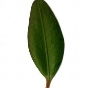 Photographie n°153183 du taxon Buxus sempervirens L. [1753]