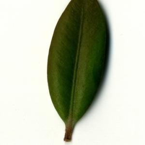 Photographie n°153184 du taxon Buxus sempervirens L. [1753]
