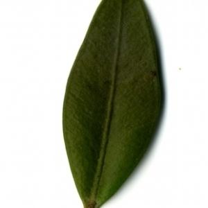 Photographie n°153185 du taxon Buxus sempervirens L. [1753]