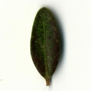 Photographie n°153186 du taxon Buxus sempervirens L. [1753]