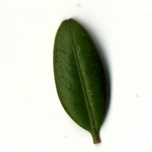 Photographie n°153188 du taxon Buxus sempervirens L. [1753]