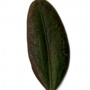 Photographie n°153189 du taxon Buxus sempervirens L.