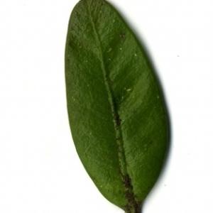 Photographie n°153192 du taxon Buxus sempervirens L. [1753]