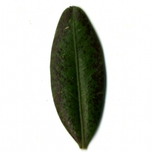 Photographie n°153193 du taxon Buxus sempervirens L. [1753]