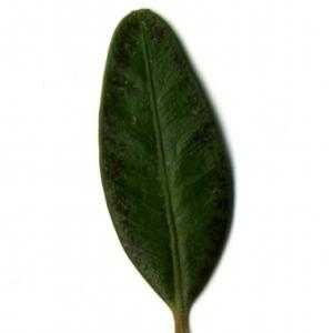 Photographie n°153194 du taxon Buxus sempervirens L.