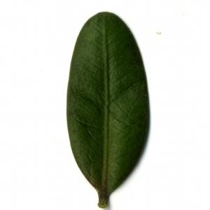 Photographie n°153196 du taxon Buxus sempervirens L. [1753]