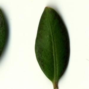 Photographie n°153197 du taxon Buxus sempervirens L. [1753]