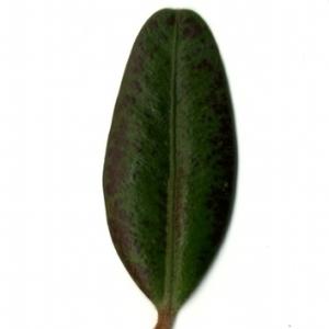 Photographie n°153198 du taxon Buxus sempervirens L. [1753]