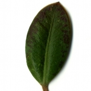 Photographie n°153200 du taxon Buxus sempervirens L. [1753]
