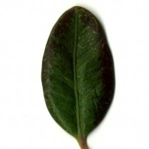 Photographie n°153202 du taxon Buxus sempervirens L. [1753]