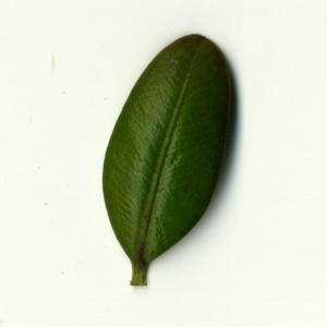 Photographie n°153203 du taxon Buxus sempervirens L. [1753]