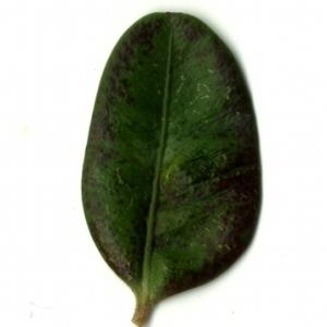 Photographie n°153205 du taxon Buxus sempervirens L. [1753]
