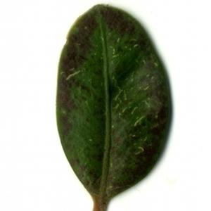 Photographie n°153207 du taxon Buxus sempervirens L. [1753]
