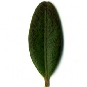 Photographie n°153208 du taxon Buxus sempervirens L. [1753]