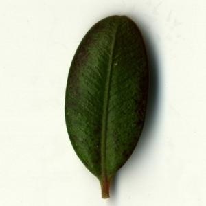 Photographie n°153210 du taxon Buxus sempervirens L. [1753]