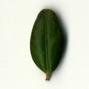 Photographie n°153211 du taxon Buxus sempervirens L. [1753]