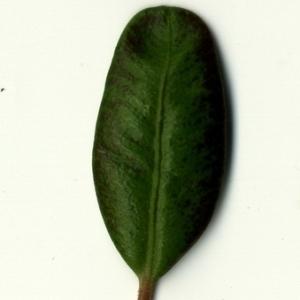 Photographie n°153212 du taxon Buxus sempervirens L. [1753]