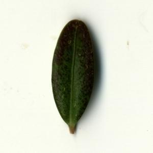 Photographie n°153213 du taxon Buxus sempervirens L.