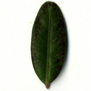 Photographie n°153214 du taxon Buxus sempervirens L. [1753]