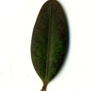 Photographie n°153220 du taxon Buxus sempervirens L.