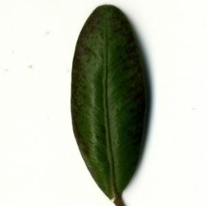 Photographie n°153221 du taxon Buxus sempervirens L. [1753]