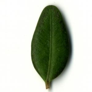 Photographie n°153222 du taxon Buxus sempervirens L. [1753]
