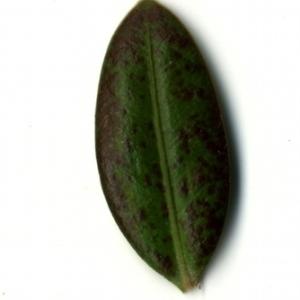 Photographie n°153223 du taxon Buxus sempervirens L. [1753]