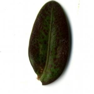 Photographie n°153224 du taxon Buxus sempervirens L. [1753]