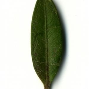 Photographie n°153225 du taxon Buxus sempervirens L. [1753]