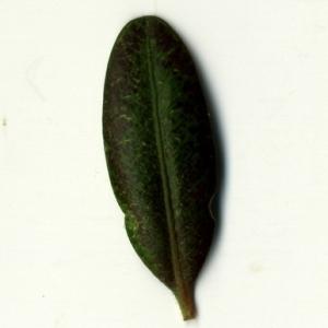Photographie n°153226 du taxon Buxus sempervirens L. [1753]