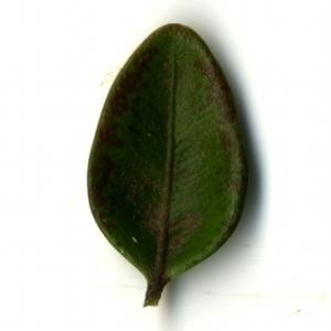 Photographie n°153228 du taxon Buxus sempervirens L. [1753]