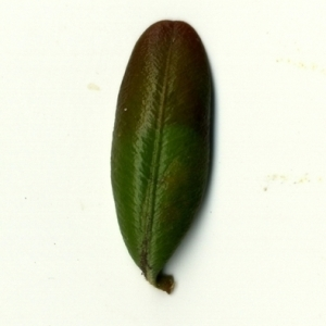 Photographie n°153230 du taxon Buxus sempervirens L. [1753]