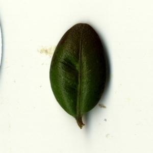 Photographie n°153232 du taxon Buxus sempervirens L.