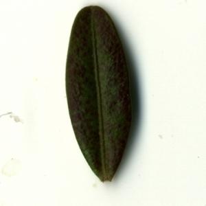 Photographie n°153233 du taxon Buxus sempervirens L. [1753]