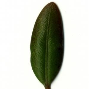 Photographie n°153235 du taxon Buxus sempervirens L. [1753]