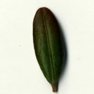 Photographie n°153236 du taxon Buxus sempervirens L.