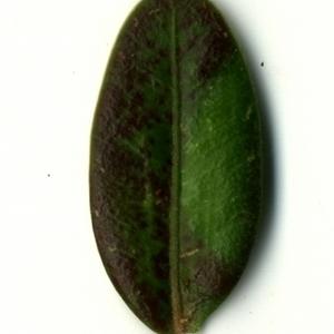 Photographie n°153237 du taxon Buxus sempervirens L. [1753]