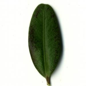 Photographie n°153238 du taxon Buxus sempervirens L. [1753]