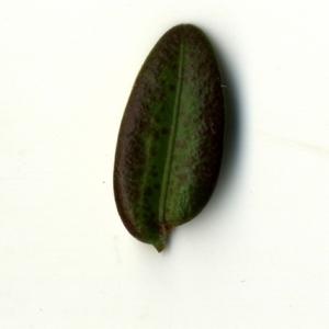 Photographie n°153239 du taxon Buxus sempervirens L.