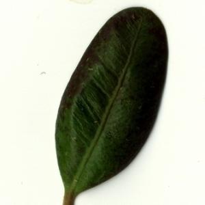 Photographie n°153240 du taxon Buxus sempervirens L. [1753]