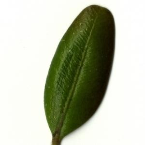 Photographie n°153242 du taxon Buxus sempervirens L. [1753]