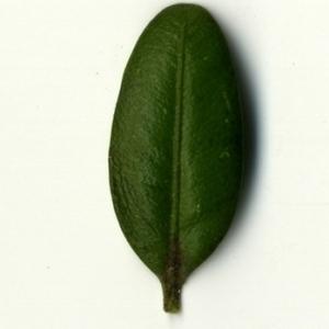 Photographie n°153243 du taxon Buxus sempervirens L. [1753]