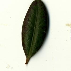 Photographie n°153244 du taxon Buxus sempervirens L. [1753]