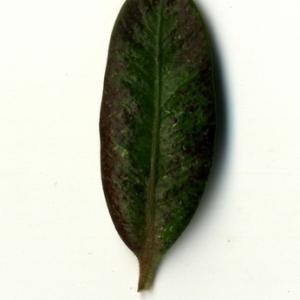Photographie n°153246 du taxon Buxus sempervirens L. [1753]