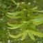 Liliane Roubaudi - Carpinus betulus L.