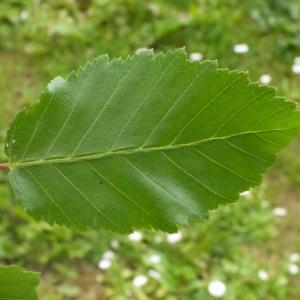 - Carpinus betulus L.