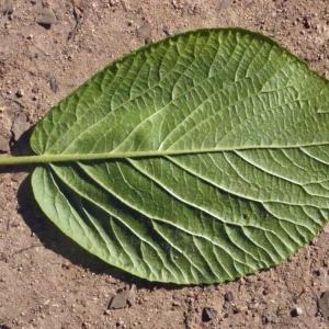 - Viburnum lantana L. [1753]
