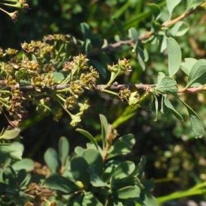- Spiraea obovata Waldst. & Kit. ex Willd. [1809]