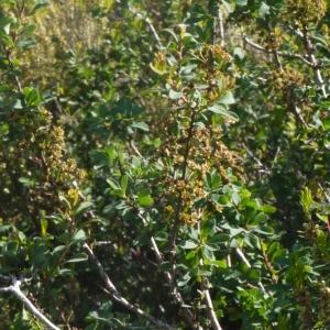 Photographie n°153615 du taxon Spiraea obovata Waldst. & Kit. ex Willd. [1809]