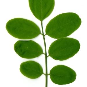 Photographie n°154338 du taxon Robinia pseudoacacia L.